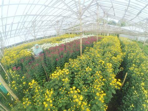 limakaki setiya aji flower farm semarang kebun bunga
