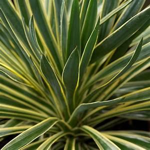 Yucca Gloriosa. yucca gloriosa wikipedia. travelmarx k ...