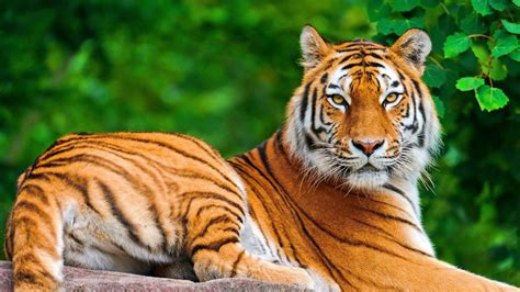 Download Free Tiger Wallpapers. Amazing Collection Of Full