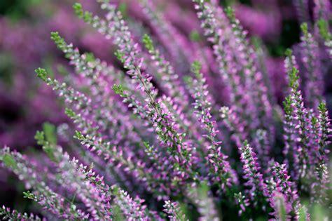 erika pflanze winterhart heidekraut erika 187 pflanzen pflegen vermehren und mehr