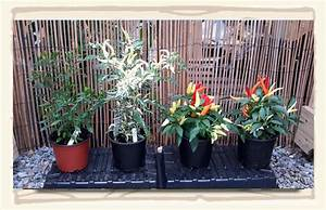 Chilli Plant Descriptions