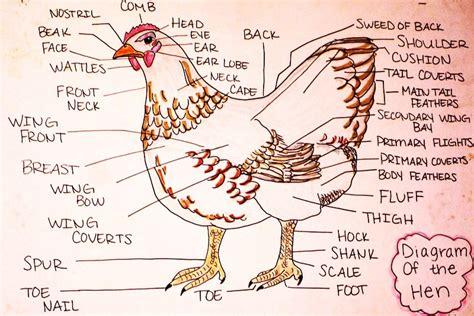 chicken labelled diagram vetchick