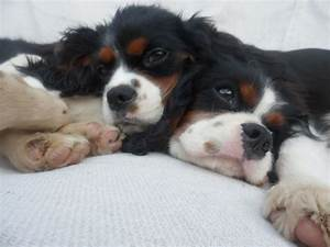2 Tri-color Female Cavalier King Charles Spaniels ...