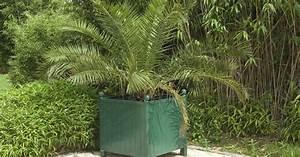 Phoenix Canariensis Pflege : kanarische dattelpalme pflanzen und pflegen informationen ~ Lizthompson.info Haus und Dekorationen