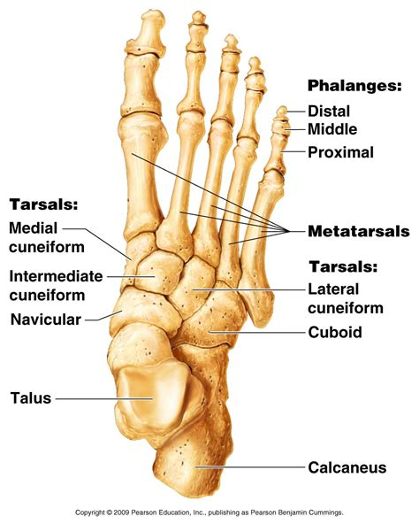 Diagram Of The Foot | Best Foot Diagram Ideas And Images On Bing Find What You Ll Love