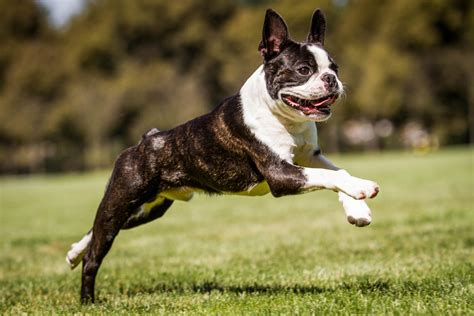 boston terrier steckbrief charakter pflege haltung