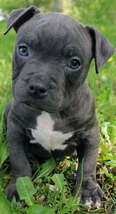 Blue Nose Pitbull Puppies For Sale - Blue Nose Pitbull ...