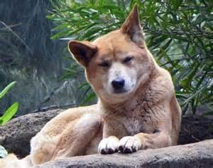 Facts About Australian Dingo