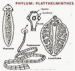 CHARACTERISTICS OF PHYLUM PLATYHELMINTHES  Phylum