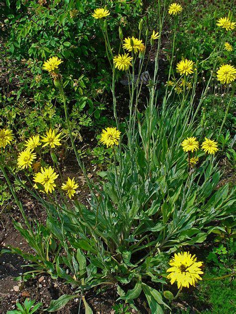 Gartenschwarzwurzel Wikipedia
