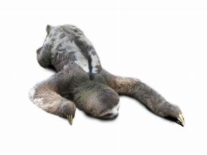 Sloth Transparent Toed Three Tail Pluspng Featured