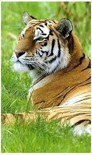 Tiger HD Wallpaper ~ LatestWallpaper99