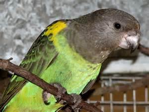 African Meyer Parrot