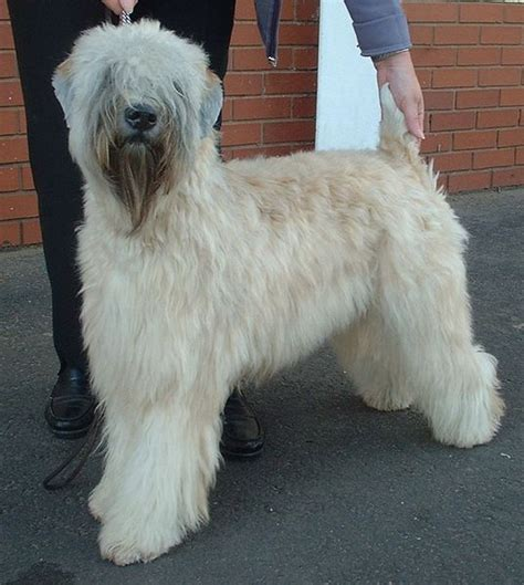 wheaten terriers do they shed as as there are no guard hairs you can