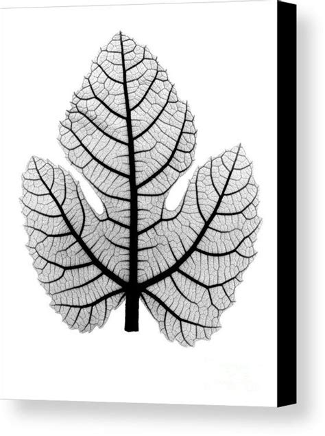 Image result for xray fig leaf | Fig leaves, Xray art, Fig
