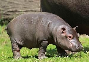 it 39 s a boy baby hippo born at zoo ostrava zooborns