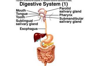 Major Organs Digestive System