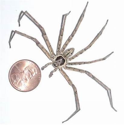 Spider Giant Huntsman Largest Biggest Michigan Crab