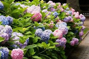 Hydrangea Macrophylla Winterhart : hydrangea macrophylla diy ~ Michelbontemps.com Haus und Dekorationen