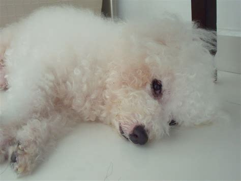 Filecotton The  Ee  Bichon Frise Ee   Is Sleepy Jpg Wikimedia Commons