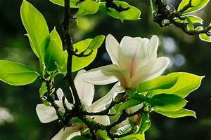 Bäume Für Kleine Gärten : magnolien f r kleine g rten ~ Whattoseeinmadrid.com Haus und Dekorationen