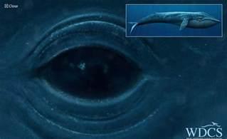 クジラ:原寸大のクジラが見られる「WDCS Life size Whale」 - GIGAZINE