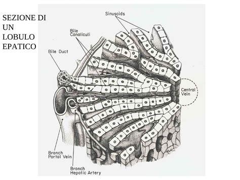 dispense anatomia umana fegato e rene dispense