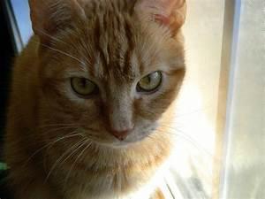 Ginger tabby cat   Tabby Cat   Pinterest