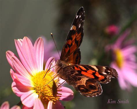 Vanessa Virginiensis Butterfly American Lady