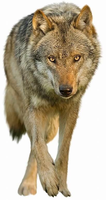 Wolf Transparent Background Clear Dog Animals Ground