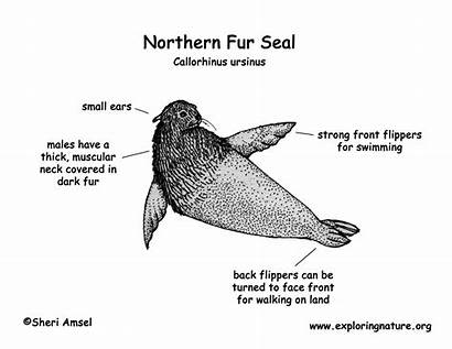 Seal Fur Northern Diagram Coloring Res Exploringnature