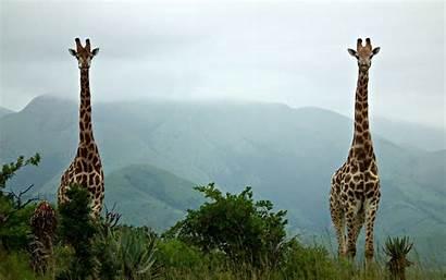 Giraffe Widescreen Desktop Wallpapers Definition Backgrounds Tablet