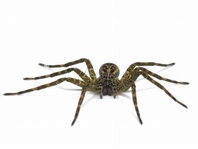 Spider Fishing Dolomedes Tenebrosus Dark Spiders Minnesota