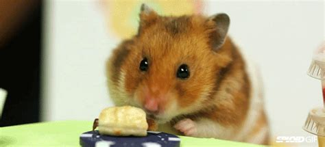 View, download, rate, and comment on 2 burger gifs. Tiny hamster eats tiny hot dogs faster than any human can
