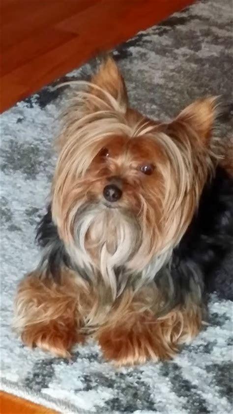 Miniature  Ee  Yorkshire Terrier Ee    Ee  Yorkshire Terrier Ee   Haircuts