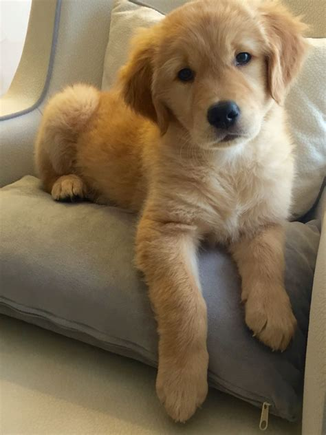 Golden Retriever Noble Loyal Companions Pawfection