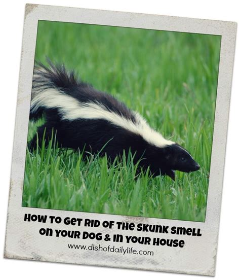 get rid of skunk smell pin by lisa burger on cleaning pinterest