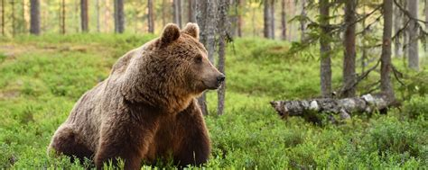 Brown Bear  International Association For Bear Research