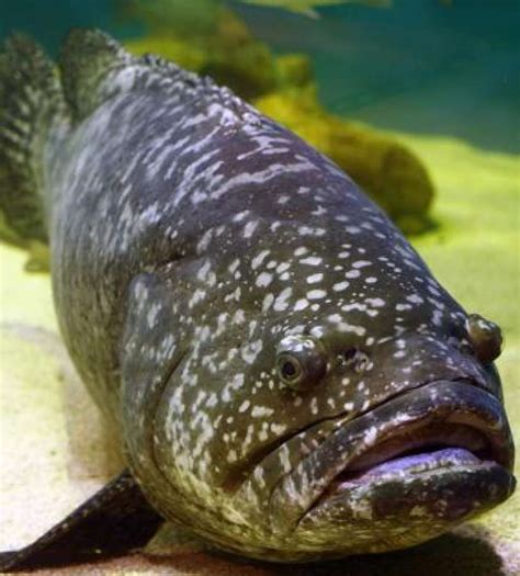 catfish florida tilapia grouper asian species restaurants many caught place passing substituting cheaper above been steve