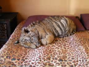 cat that looks like a tiger house cats that look like tigers