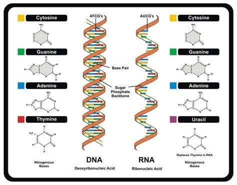 26 Structure Of Dna And Rna  Emily´s Biology Portafolio