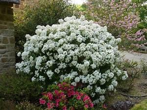Arbuste Persistant En Pot : choisya x 39 aztec pearl 39 ~ Premium-room.com Idées de Décoration