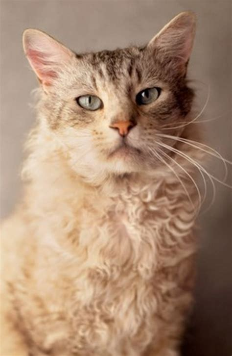 curly haired cat breeds cat breeds encyclopedia