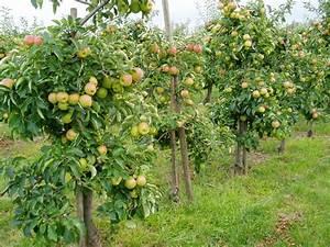 Apfelbaum Für Balkon : datei 90915 apfelanbau im alten land jpg wikipedia ~ Michelbontemps.com Haus und Dekorationen