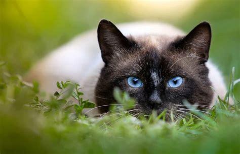 do siamese cats change color