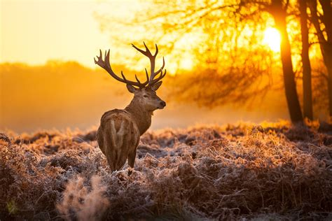 deer  forest hd animals  wallpapers images
