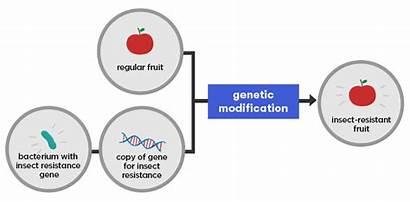 Genetic Modification Science Gene Diagram Example Simple