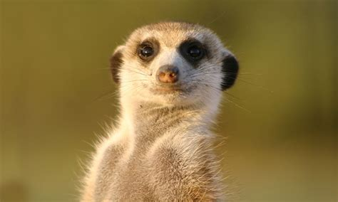 Meerkat Wallpapers Images Photos Pictures Backgrounds