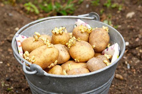 what are seed potatoes what are seed potatoes and how do you plant them