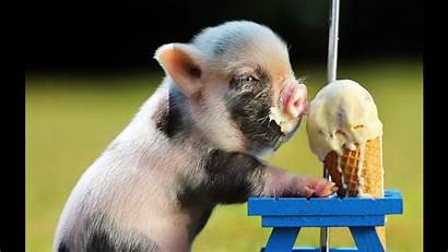 Pig Funny Mini Micro Cutest